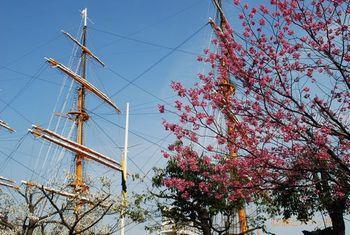 140402日本丸と桜.jpg